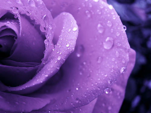 �������.. purple-rose-by-bpbp-on-flickr.jpg
