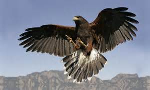 Harris Hawk Flying
