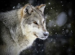 she-wolf-in-snow